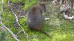 1206 14 Potoroo Cradle Mountain TAS